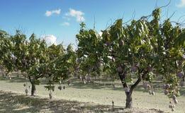 Mango farm Royalty Free Stock Photo