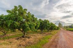 Mango Farm Royalty Free Stock Images