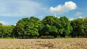 Mango farm or mango field with blue sky, agricultural concept. stock footage