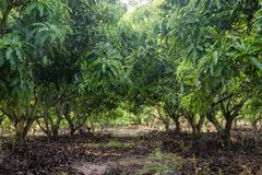 Mango field of a flowering in tropical country. agricultural con royalty free stock images