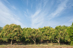 Mango field,mango farm  blue sky background. Royalty Free Stock Images