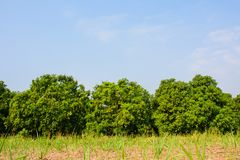 Mango field,mango farm with mango fruits hanging, against blue s Stock Photos