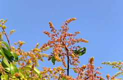 Mango flower. In blue sky background Royalty Free Stock Photography