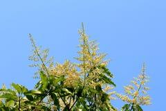 Mango flower with blue sky Royalty Free Stock Photos