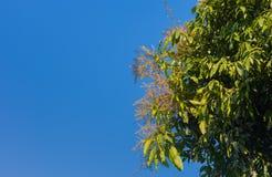 mango flower with blue sky stock photos