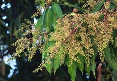 Mango flower. Mango Leaves and flower,The mango is a fleshy stone fruit belonging to the genus Mangifera Royalty Free Stock Image