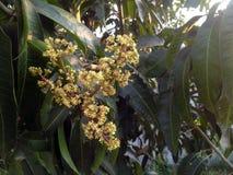 Mango flowering Royalty Free Stock Photo