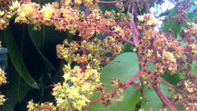 Mango flowering with windy stock footage