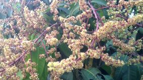Mango flowering with windy stock video footage