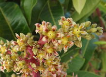 Mango flowers Stock Photo
