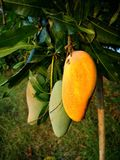Mango, Frucht, Thailand stockfotografie