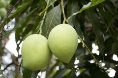 Mango fruit. Anacardiaceae is grown on trees Royalty Free Stock Photo