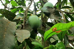 Mango. Fruit is called The king of the fruits. It is a tropical tree cultivated in many regions of India and this fruit is rich with pre-biotic dietary fiber Stock Photo