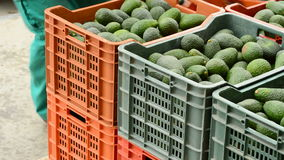 Mango fruit in a chain industrial Stock Images