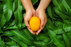 Mango and slice cut on green leaf backgroundMango fruit on cupped hand of farmer with green leaf background Royalty Free Stock Image