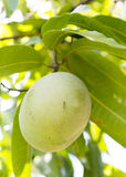 Mango fruit hanging on a tree Royalty Free Stock Photos