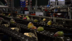 Mango fruit in pack line of packaging industrial stock video
