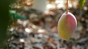 Mango fruit and peduncle hanging at branch of tree