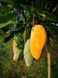 Mango, fruit, Thailand stock photography