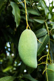 Mango fruit on tree Royalty Free Stock Photos