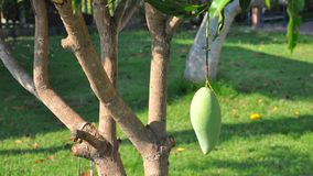 Mango fruit on tree Royalty Free Stock Photos