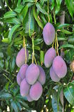 Mango Fruit Tree Stock Photo