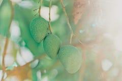 The mango fruit on the tree Royalty Free Stock Photos