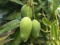 Mango fruit on the  tree. Mango fruit hanging on the tree Stock Photo