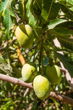 Mango fruit tree indigenous of south east Asia. Royalty Free Stock Photo