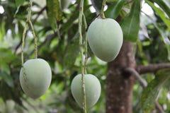Mango fruits hanging Stock Images