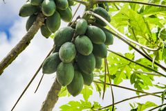 Mango fruits ripening on tree Royalty Free Stock Photos