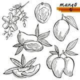 Mango fruits set Stock Photos