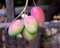 Mango Fruits on a Tree Royalty Free Stock Photos