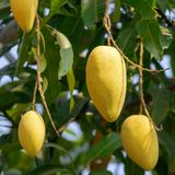 Mango fruits on a tree Royalty Free Stock Image