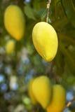 Mango fruits on a tree Stock Image