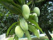 Mango fruits on a tree. At the garden Stock Photos