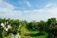 Mango garden with blue sky. Daytime Royalty Free Stock Image