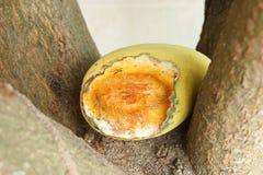 Mango gebissen durch Insekten. Lizenzfreies Stockbild