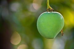 Mango. Green boke mangifera anacardiaceae Royalty Free Stock Photography