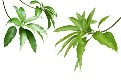 Mango Green Leaves and Branches Isolated on White Background. Fresh Mango Leaves and Branches Isolated on White Background royalty free stock photo
