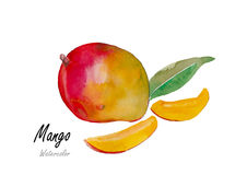 Mango.Hand drawn watercolor painting on white background w, watercolor, flower, flowers, water, illustration, background, Stock Photos
