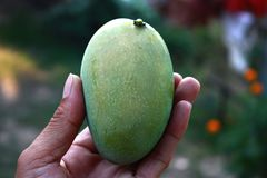 Mango in hand is a fruit with sweet taste delicious effect from March to April. Stock Photos