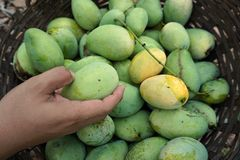 Mango harvest Royalty Free Stock Images