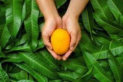 Mango i plasterka cięcie na zielonej liścia backgroundMango owoc na cupped ręce rolnik z zielonym liścia tłem Obraz Royalty Free