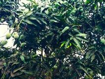 Mango im Mangobaum umgeben mit Mangoblättern Langra Aam stockbild