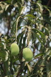 Mango. Isolate for mango fruit with the leaf background stock images