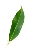 Mango leaf Royalty Free Stock Image