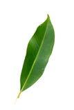 Mango leaf. Beautiful shot of mango leaf against white background royalty free stock image