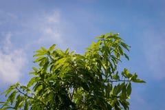 Mango leaf Stock Photography