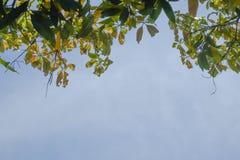Mango leaf on blue sky background Stock Photo